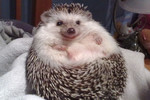 Happy to be a hedgehog