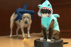 Cat Riding a Roomba in a Shark Costume Chases a Duckling