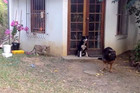 Little lion cub sneaks up on dog and scares him