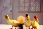 Duck Tales - With Real Ducks!