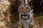 Tiger - Spy In The Jungle Ep 2